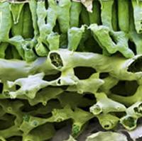 Фото №8 - Как создают трансгенные растения: 5 показательных примеров