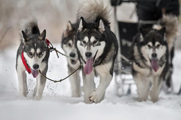 Фото №1 - Доберемся на собаках