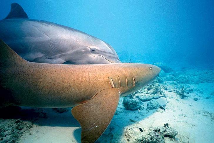 Фото №1 - Боятся ли акулы дельфинов?