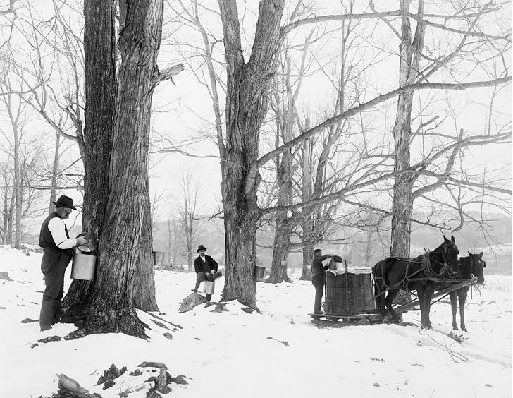 Universal History Archive / Contributor / Getty ImagesСбор сока для кленового сиропа. 1905 год