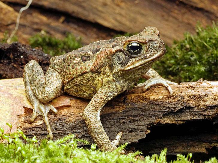 Фото №1 - Ага: как в Австралии проходит день изгнания жаб