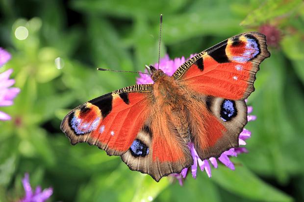 Фото №9 - 10 бабочек, крылья которых похожи на полотна импрессионистов