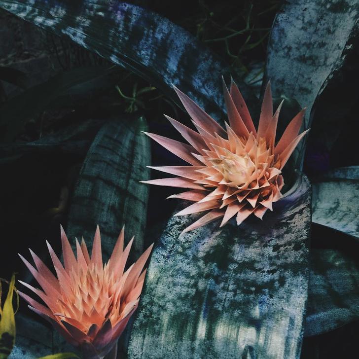 Фото №1 - В Ботаническом саду МГУ расцвела серебряная ваза