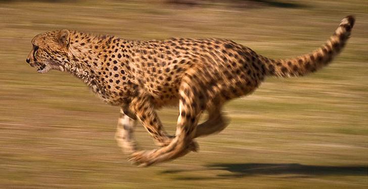 Фото №1 - Ученые получили редчайшие фотографии сахарского гепарда