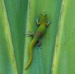 Фото №1 - Пластырь от геккона
