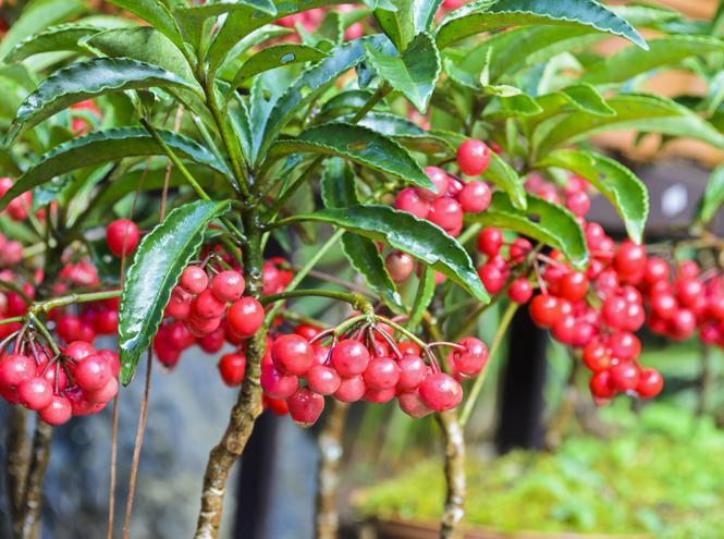 Фото №5 - 5 растений, которые заменят новогоднюю елку