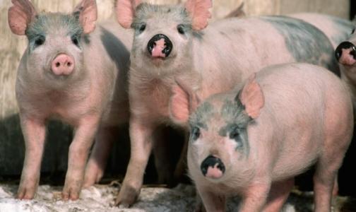 Фото №1 - Карантин по африканскоя чуме свиней снимут 12 мая