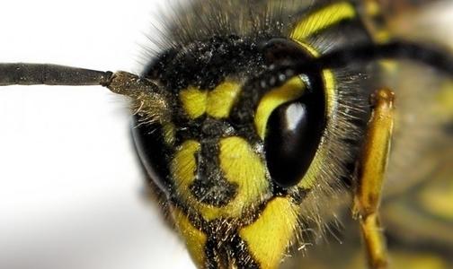 Фото №1 - В Минздраве рассказали, что делать при укусе осы и пчелы