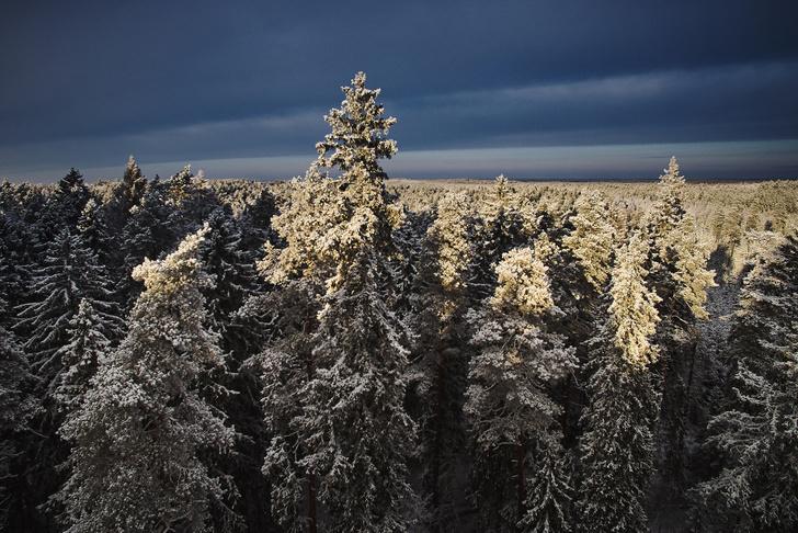 Фото №1 - В Эстонии случайно нашли самую высокую сосну в мире