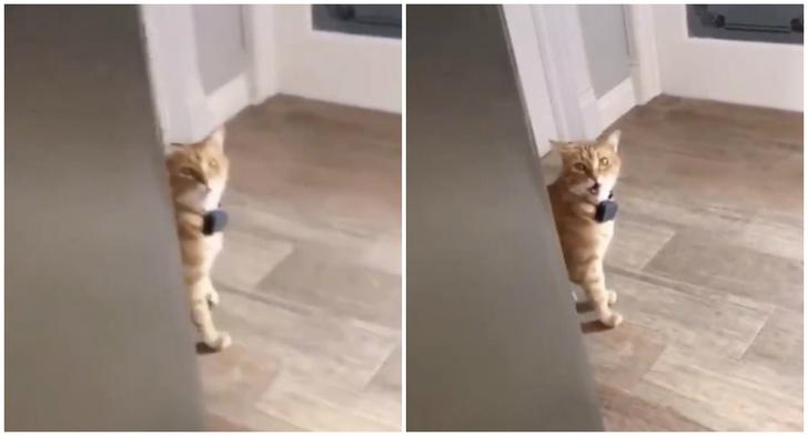 Фото №1 - Видео со здоровающейся на английском кошкой стало вирусным