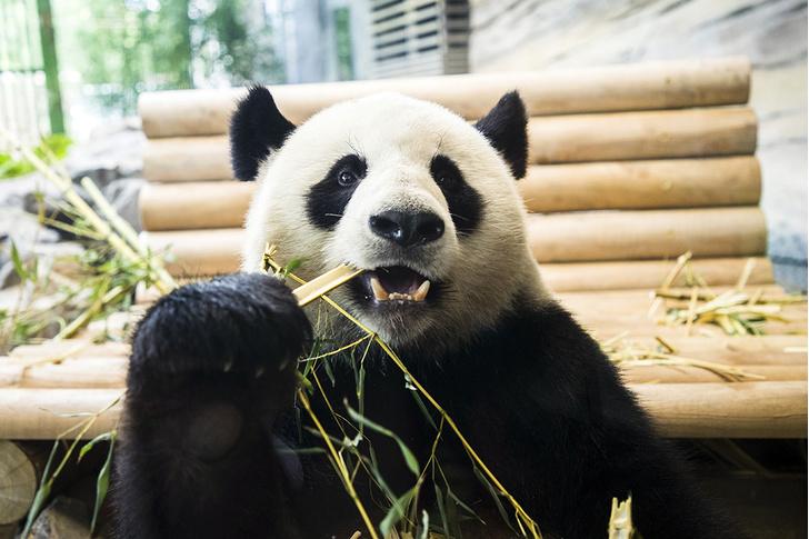 Фото №1 - «Панда-дипломатия»