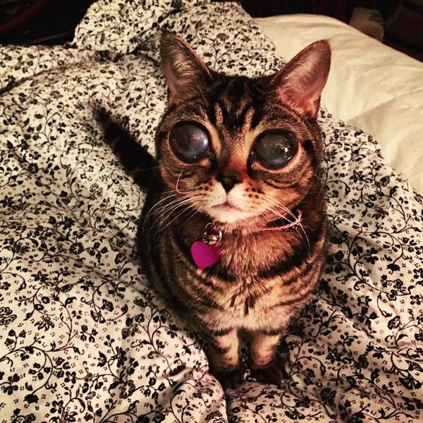 Фото №1 - ATTENTION! Глазастые кошки-пришельцы наступают!