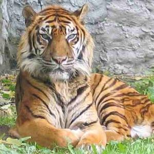 Фото №1 - Тигр напал на людей