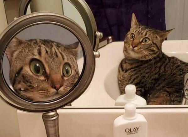 Фото №1 - 21 фотография котов, которые пытаются разгадать тайну зеркал