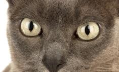 Бурманская порода кошек: характер, особенности содержания, отзывы владельцев