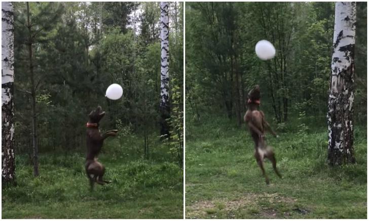 Фото №1 - Пермская собака стала известна в мировом Интернете благодаря своей виртуозной игре с надувным шариком (видео)