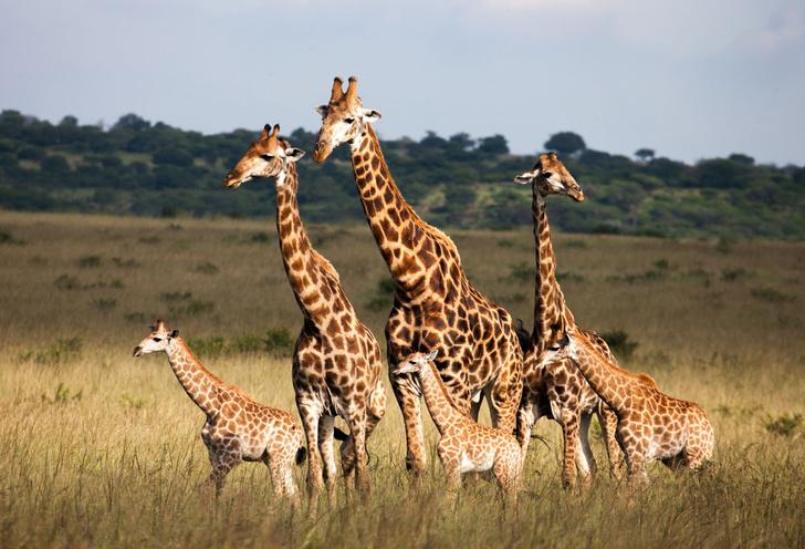 Фото №1 - Жирафы оказались под угрозой вымирания