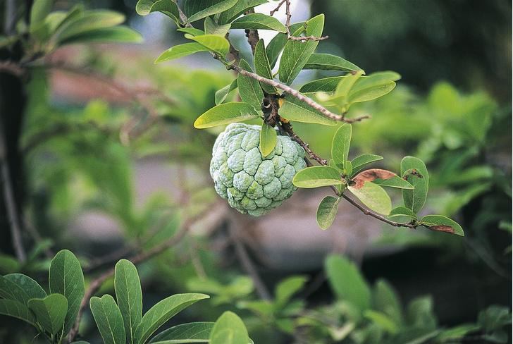 Фото №3 - Фруктовая экзотика: 10 плодов с удивительным вкусом