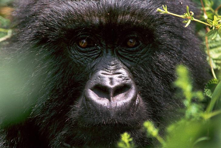 Фото №1 - Ученые дали неожиданную оценку численности шимпанзе и горилл