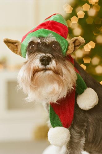 Фото №7 - Вырядился: забавные новогодние наряды домашних питомцев