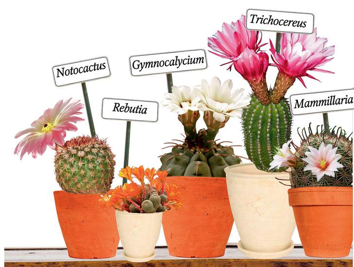Фото №3 - Как растить кактус