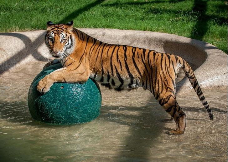 Фото №2 - Тигрица из бродячего цирка волшебно преобразилась после приюта