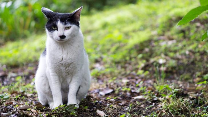 Фото №1 - Ученые объяснили, почему рождаются кошки, похожие на Гитлера
