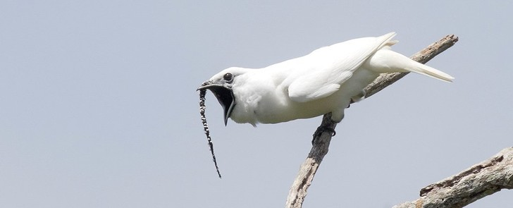 Фото №1 - Найдена самая громкая птица на Земле
