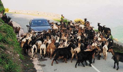 Фото №3 - Охота по-корсикански