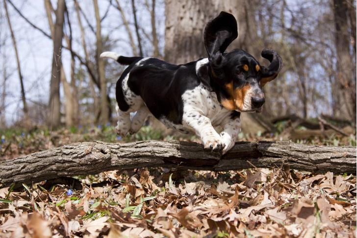 Фото №1 - Названы породы собак, наиболее подверженных ушным инфекциям