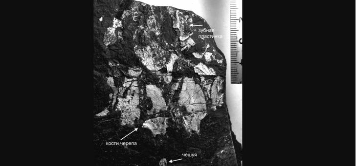 Фото №1 - На Урале впервые обнаружили скелет двоякодышащей рыбы