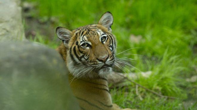Фото №1 - В американском зоопарке тигрица заразилась COVID-19