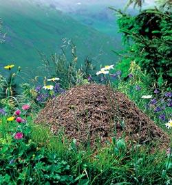 Фото №1 - Как «дышит» муравейник?