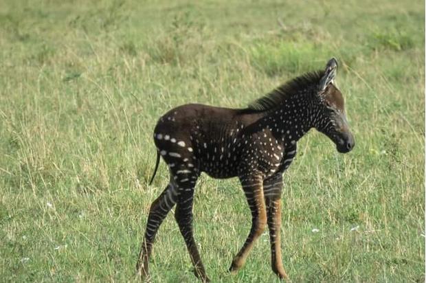 Милота дня: малыш зебры родился с пятнами вместо полос