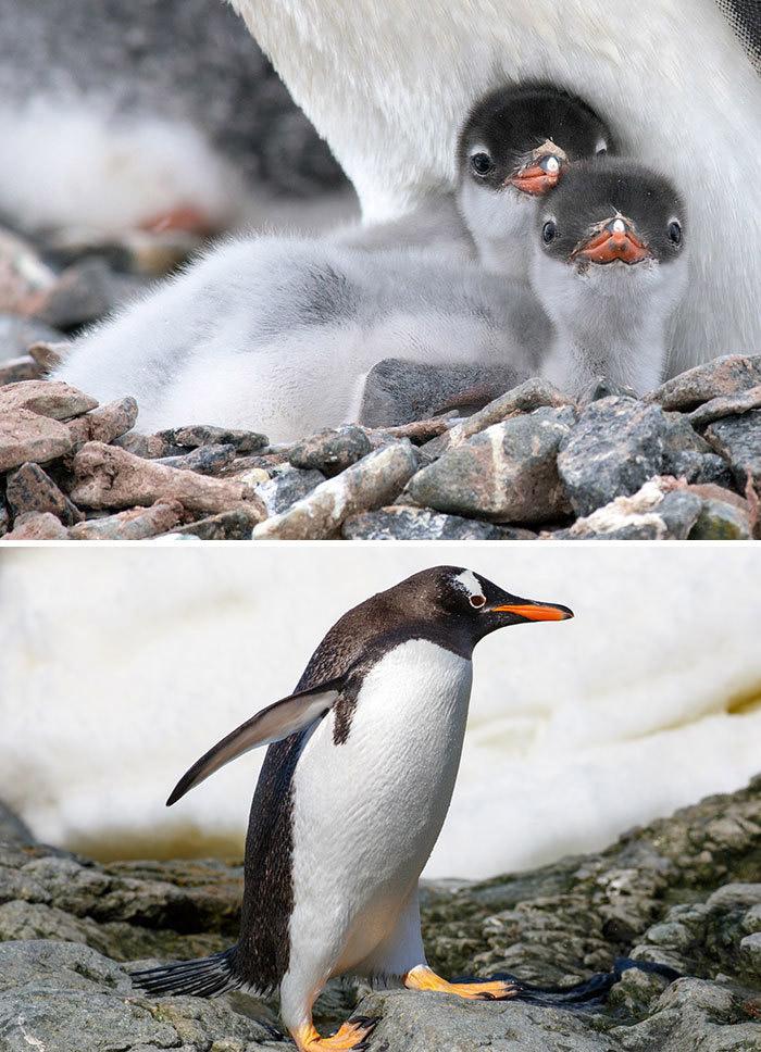 Фото №27 - 30 красивых птиц, которые были уродливыми птенцами (галерея)