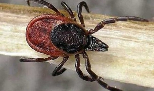 Фото №1 - Роспотребнадзор сообщил о первых заразившихся «клещевыми» инфекциями