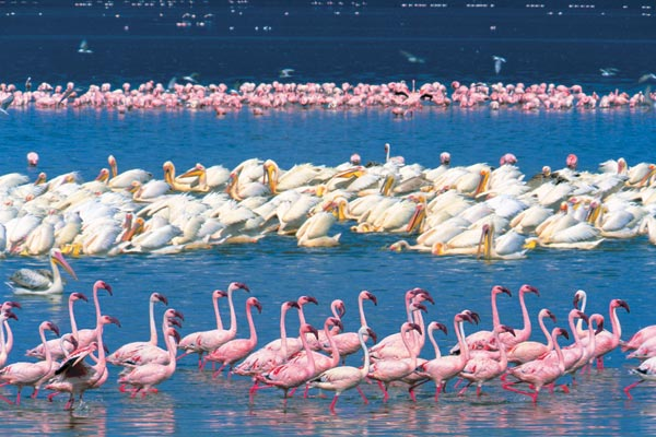 Фото №1 - Миллионы розовых фламинго