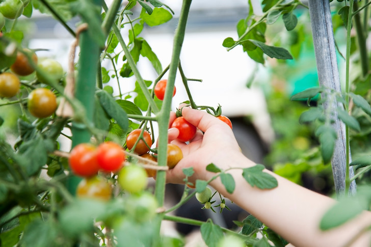 как выращивать помидоры в теплице