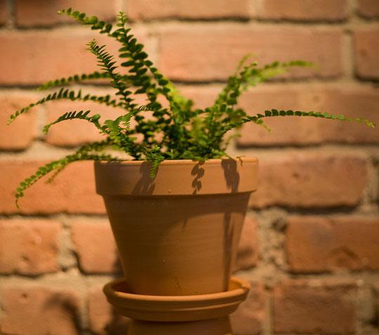 Фото №4 - Модное растение в доме: папоротник