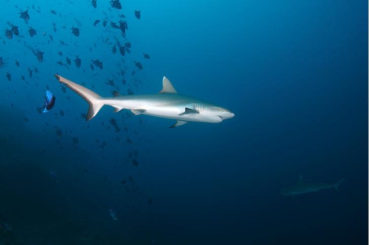Фото №1 - Акулы оказались способны на «дружбу»