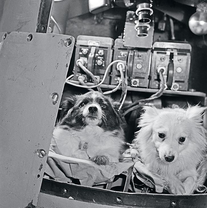 ФОТОХРОНИКА ТАССВ1960 году Белку иСтрелку за25часов ихорбитального полета покормили дважды