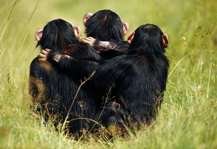 Фото №1 - Как шимпанзе объединяются против общего врага