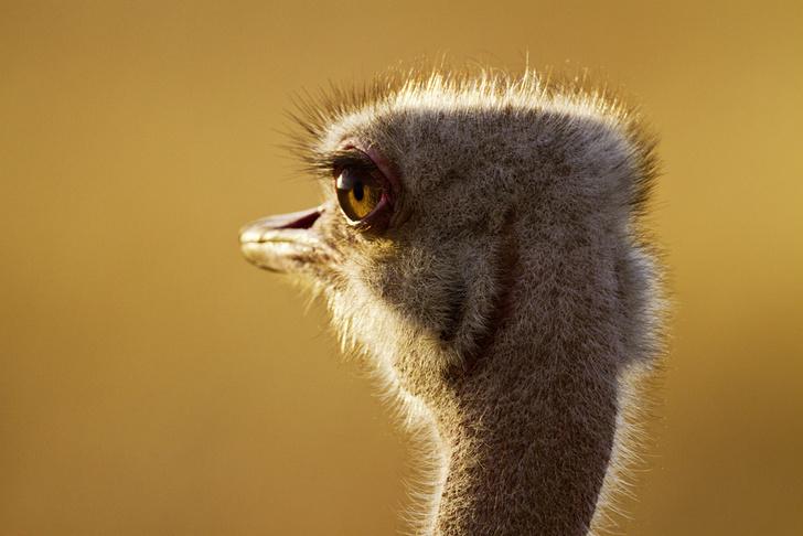 Фото №1 - Бабье царство: Как устроено страусиное общество