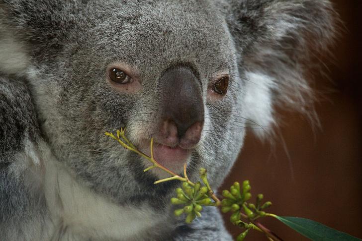 Фото №1 - Переход на летнее время поможет сохранить популяцию коал в Австралии