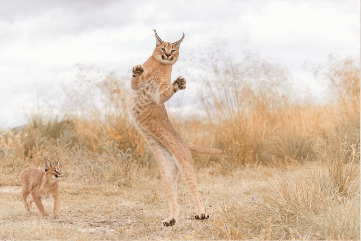 Фото №1 - Танец каракала