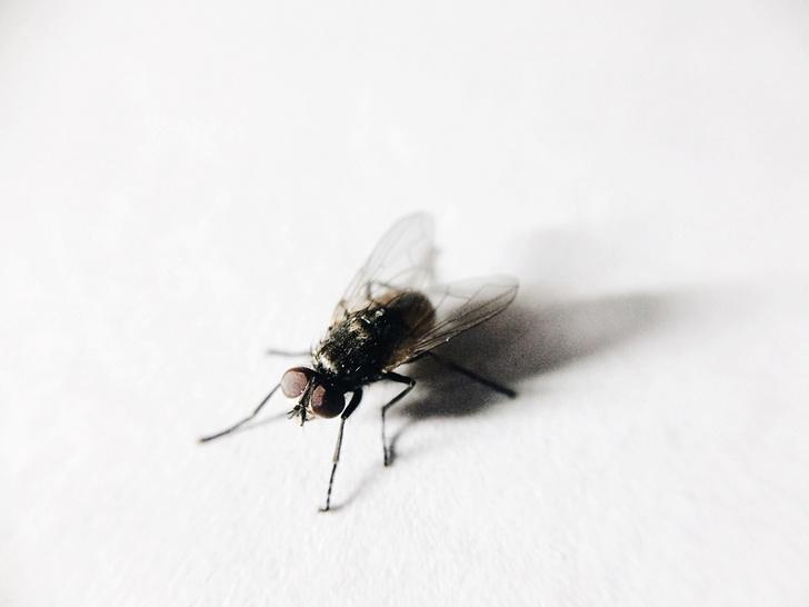 Фото №1 - Насколько мухи опасны для человека
