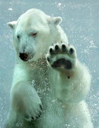 Фото №1 - Почему полярные животные не отмораживают лапы на льду?