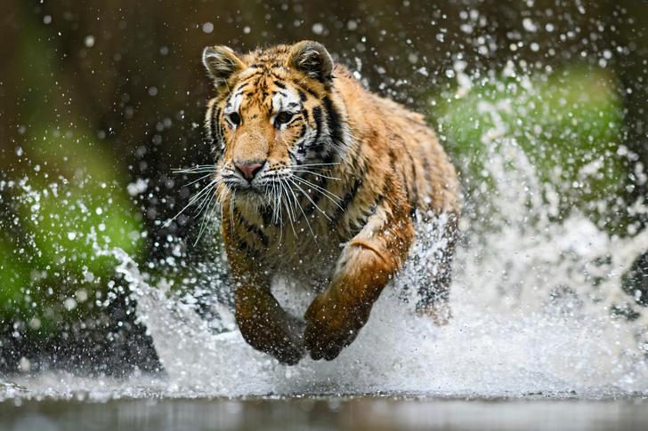 Фото №4 - Полосатый охотник: как выживает одна из самых редких кошек России и мира