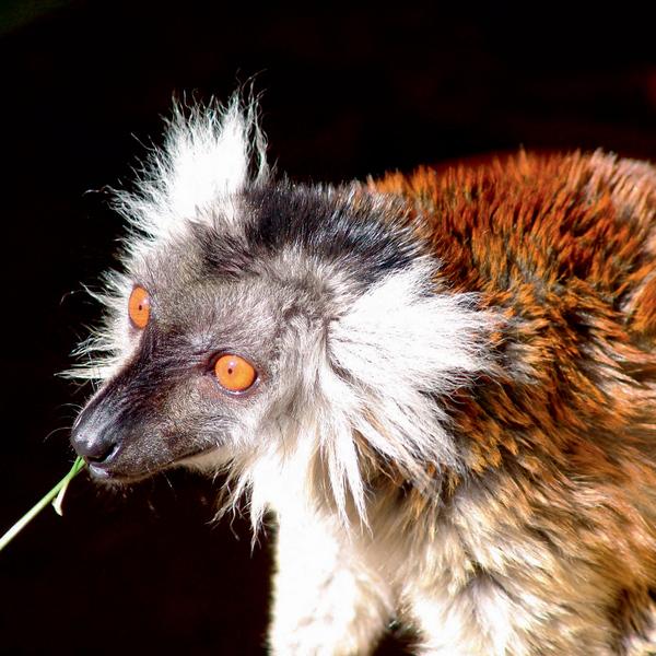 Многие лемуры, как и другие уникальные мадагаскарские животные, увы, находятся на грани вымирания.
