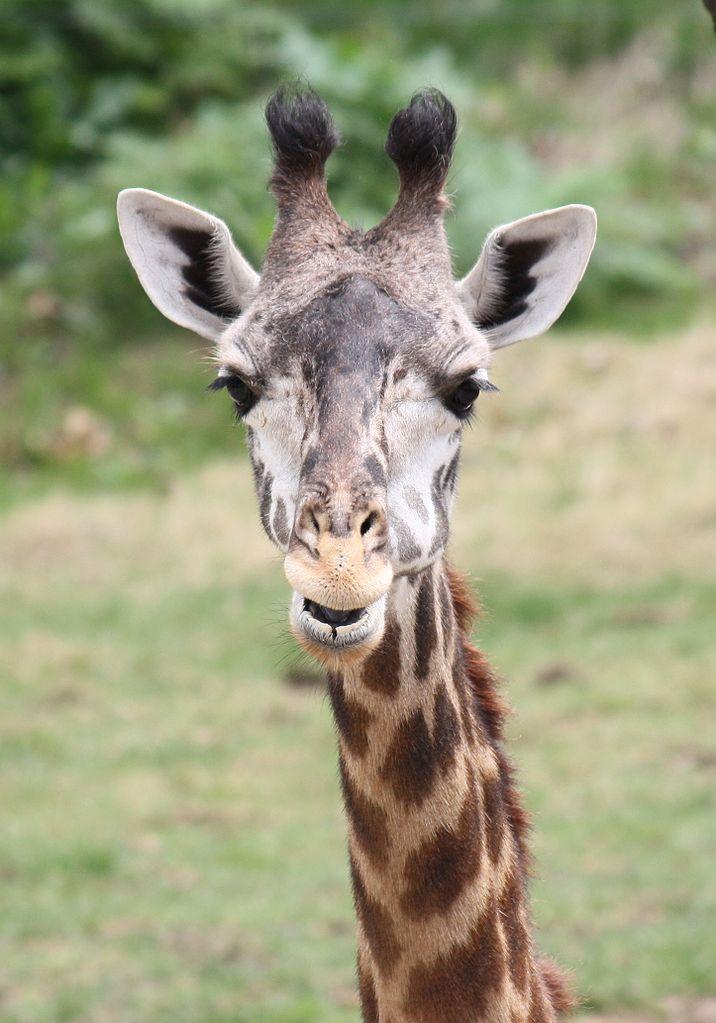 Фото №1 - Зачем жирафам длинная шея